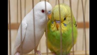 Как определить пол волнистаго попугая?