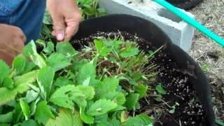 Growing Alpine Strawberries - 10. Renovation