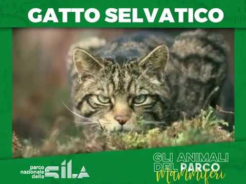 Il Gatto Selvatico Del Parco Nazionale Della Sila Youtube