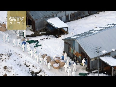 Japan culls farm birds to quell bird flu outbreak