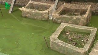 Nuôi ếch thương phẩm - Nuôi ếch kết hợp nuôi cá