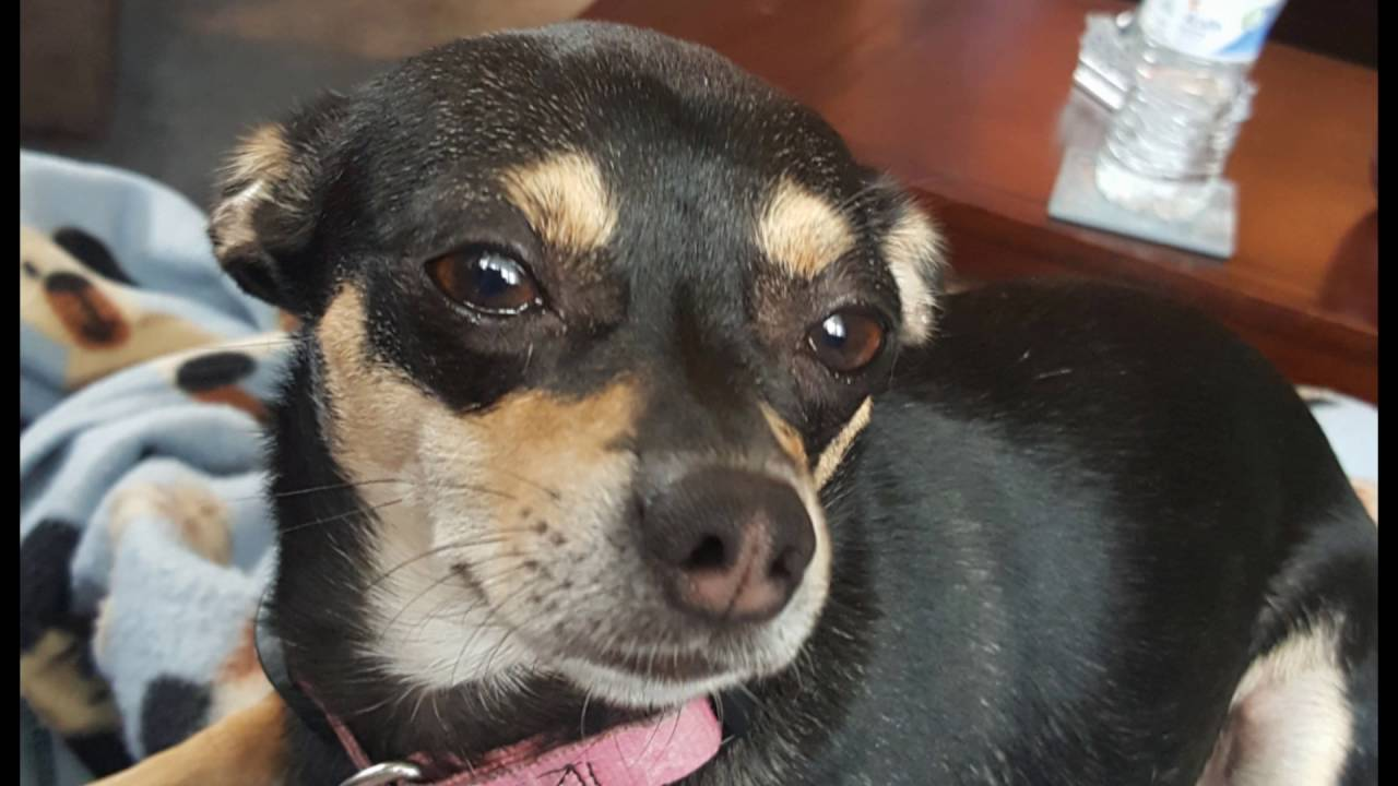 Violet My Black And Tan Chihuahua Girl Youtube