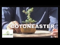 Bonsai Mame Cotoneaster -  How To Grow A Bonsai From Cuttings By Mikbonsai