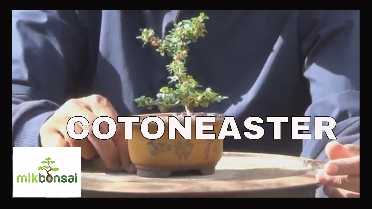 Bonsai Mame Cotoneaster How To Grow A Bonsai From Cuttings By Mikbonsai Youtube