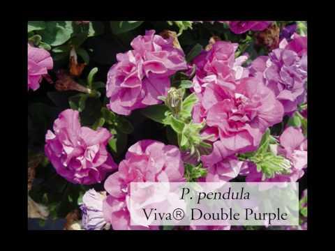 Nuove piante fiorite per vasi e aiuole seconda parte - Piante fiorite ...