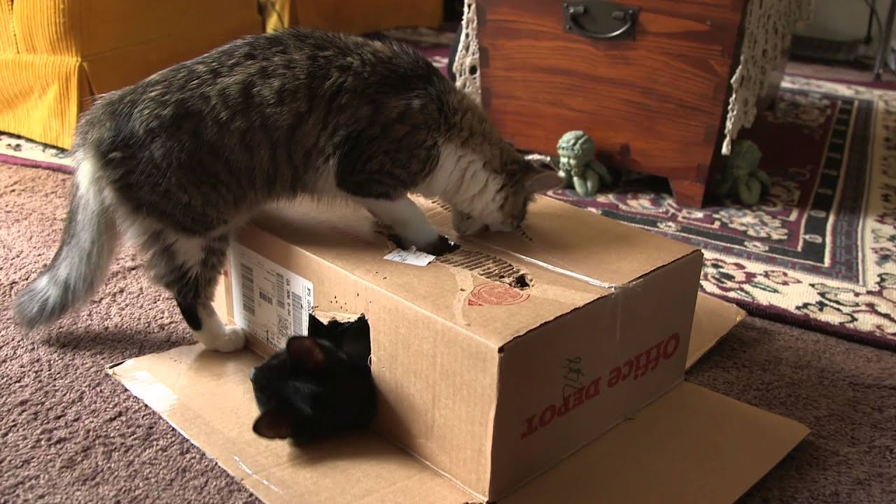Cats Playing in a Cardboard Box