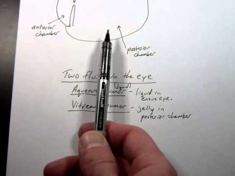 Anatomy 2 Lecture 3-4   Humors of the eye and humorism