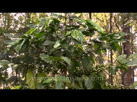 Tribal women working in coffee garden