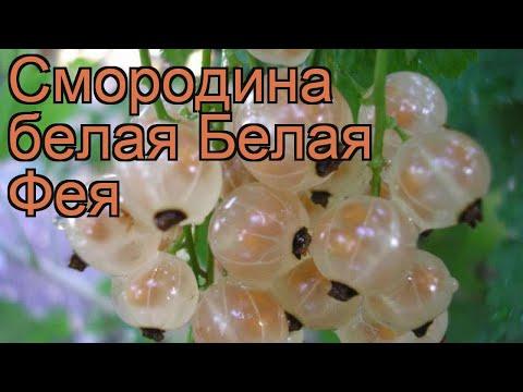 Смородина белая Белая Фея (belaia feia) 🌿 обзор: как сажать, саженцы смородины Белая Фея