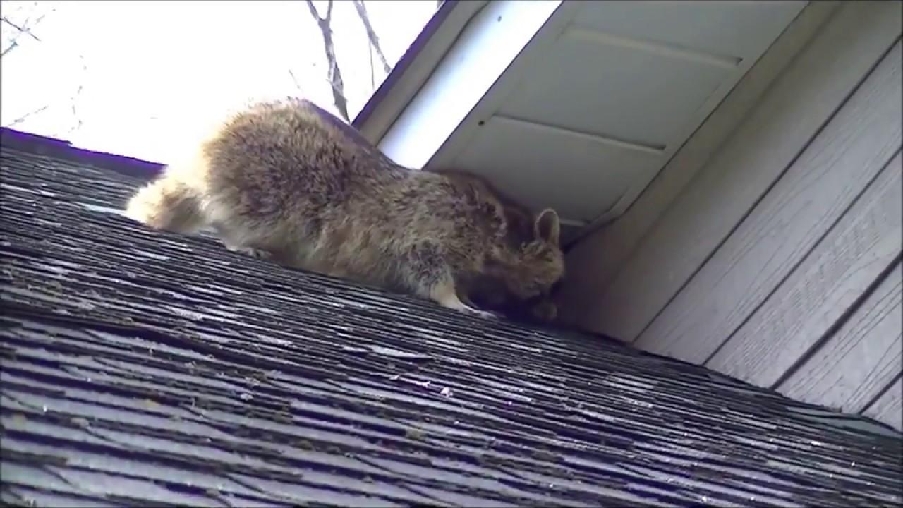 Raccoon Removal Toronto GTA | Wild Animal Removal - 360 Wildlife