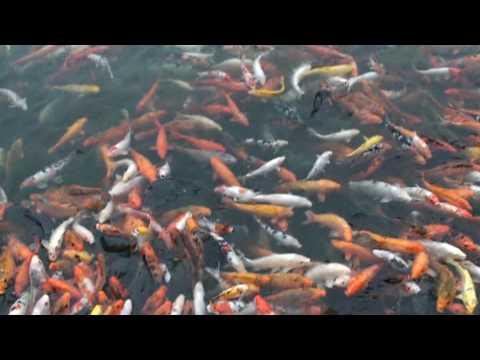 Les poissons rouges carpes koi se jettent sur la for Nourriture carpe koi