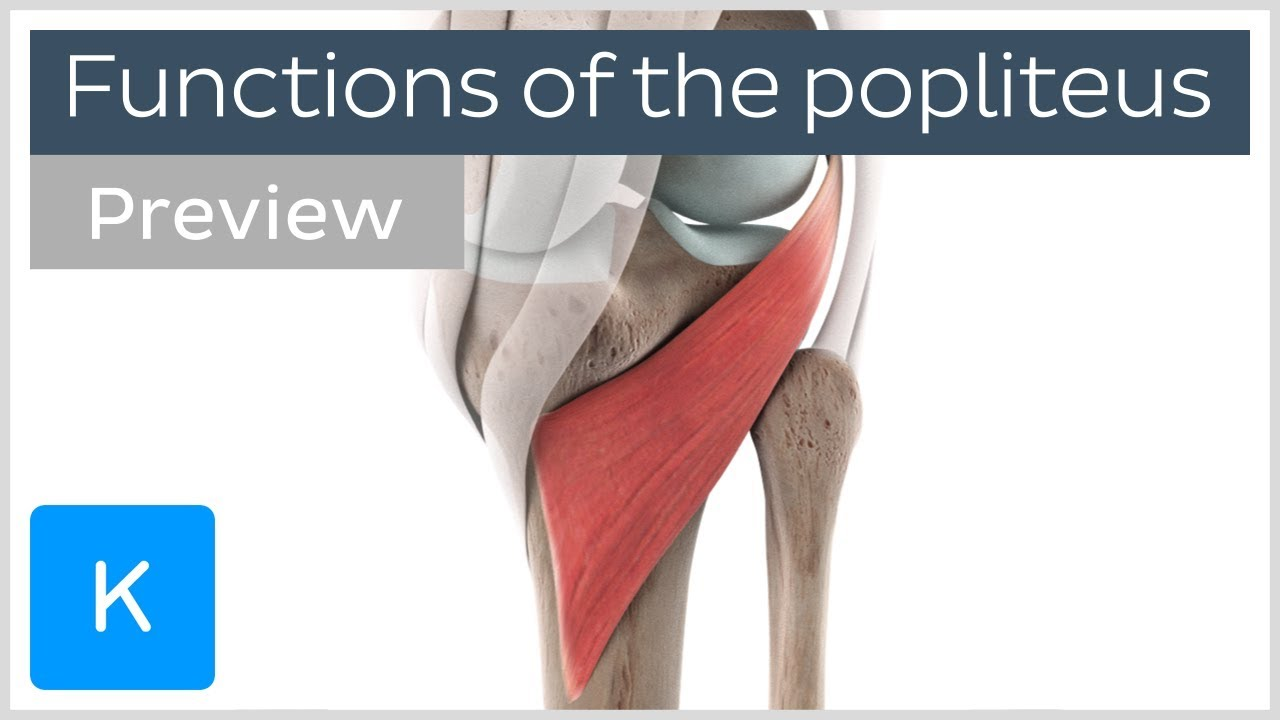 Functions of the popliteus muscle (preview) - 3D Human ... - photo#25