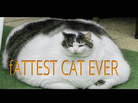 The Fattest Cat In The World