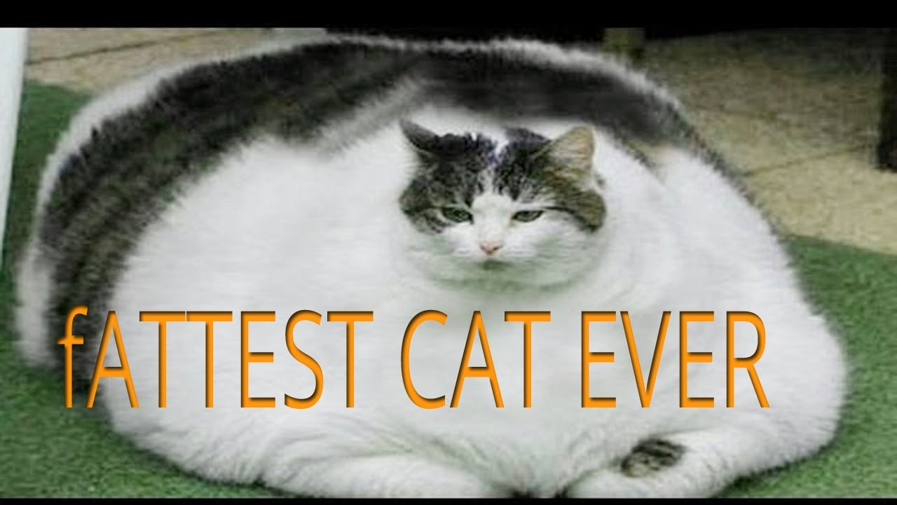 the fattest cat in the world youtube