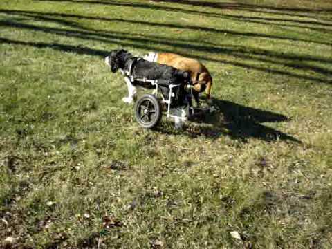 Lou the Katrina dog with his custom wheelchair! thumbnail
