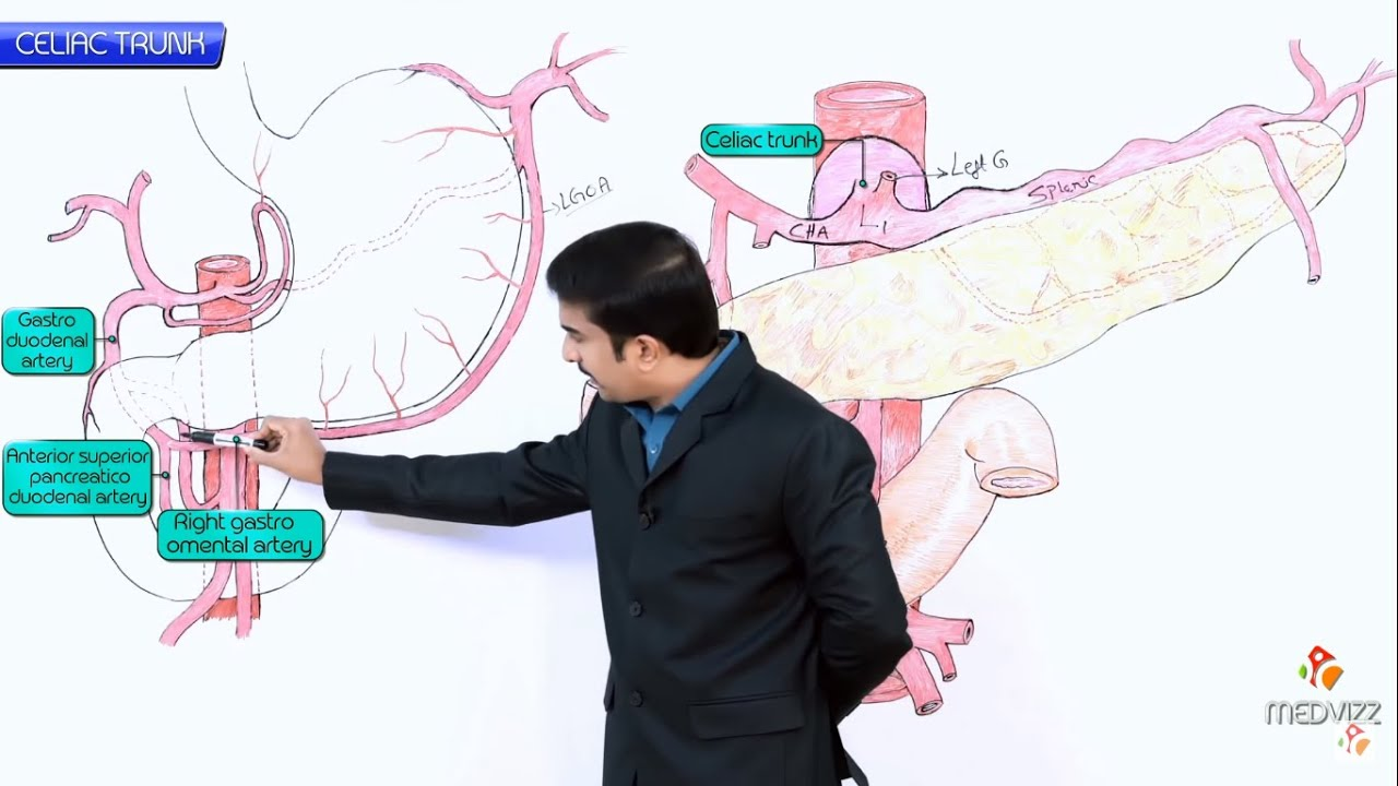 Anatomy Of Celiac Trunk Celiac Artery Origin Course Branches