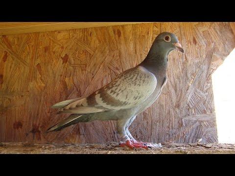 5/8/2017 Pigeon Update Plus Baby Fish