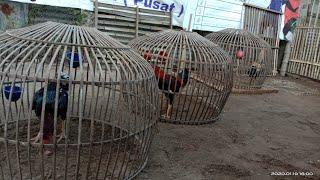 Cara menjemur ayam Bangkok yang benar