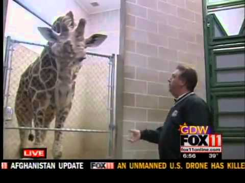 Nutrition for the giraffes at the NEW Zoo