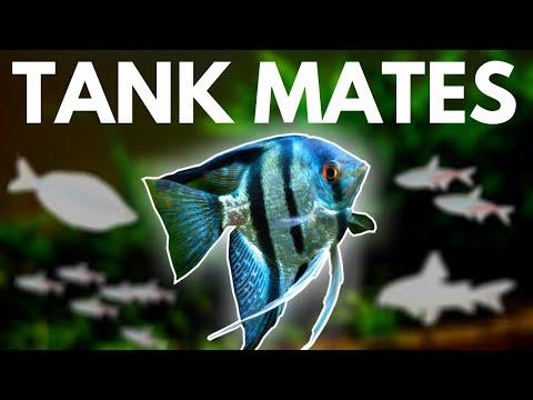 Angelfish Tank Mates: 10 Fish You Can Keep With Angelfish