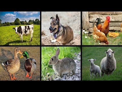 learning different farm animals names and animal sounds
