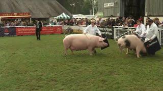 Prif Bencampwriaeth y Moch | Pigs Supreme Champion