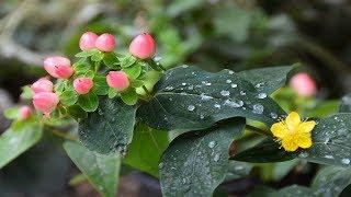 Зверобой или гиперикум.  Экзотическое растение гиперикум.