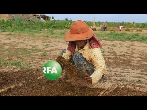Drought Threatens Tobacco Farmers Along the Mekong River