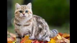 Фото британской кошки Кьяры в осеннем лесу