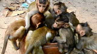Wow awesome baby monkeys enjoy drinking water in the jar, Hot weather monkey really thirsty