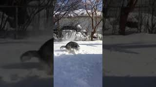 "Husky uses ""cone of shame"" to scoop snow and throw it at owner."
