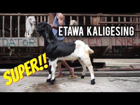 Kambing Etawa Kaligesing Super Ready Stock 12 Maret 2018