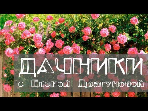 Дачники. Как вырастить плетистую розу в Сибири. Как правильно ухаживать за пионами