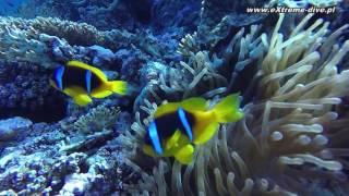 Błazenek Nemo