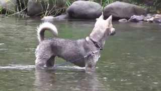 紀州犬(kishu dog)。生後1年4ヶ月メスです。(Female。。one year and f...