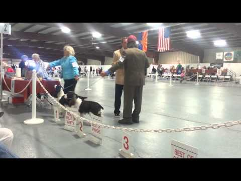 Tucson, AZ  English Springer Spaniels Dog Show 11-17-2013