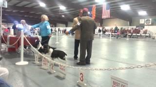 Tucson, Az  English Springer Spaniels Dog Show 11-17-2013
