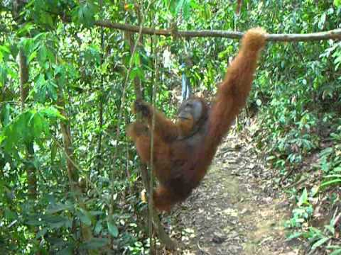 Sumatran male orangutan on the ground