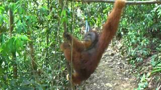Sumatran male orangutan on the ground