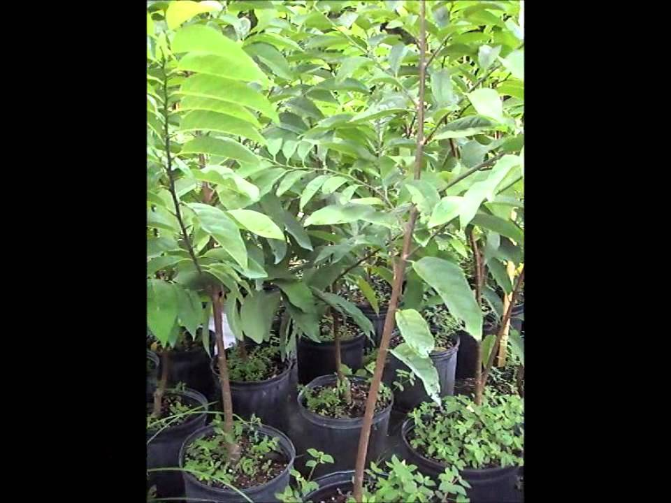 Annona Fruit Trees Miami Florida Sugar Apple Youtube