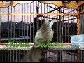 Masteran Burung Trucukan Ropel Panjang Masteran Trucukan Ropel Istimewah  Mp3 - Mp4 Download