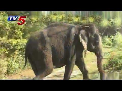 Elephant Rajini Ready for Muharram Festival : TV5 News