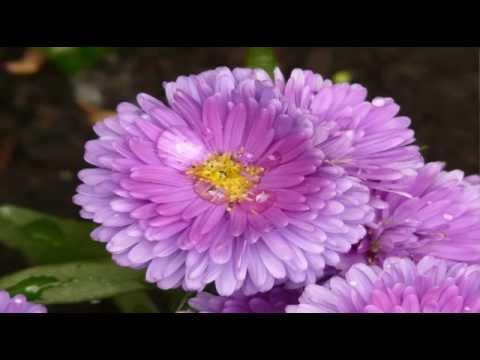 aster flower, Natural flower