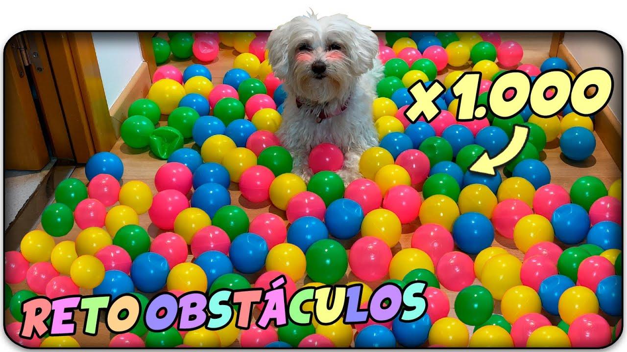 Reto de Obstáculos de PELOTAS de COLORES para PERROS!🌈🐶Anima Dogs