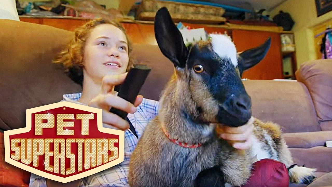 R Goats Good Pets Having Miniatur...