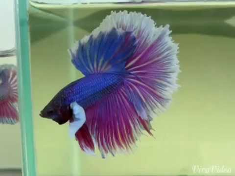 Dumbo betta fish big eared betta fish youtube for Big betta fish