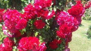 Майские розы и прекрасная музыка.