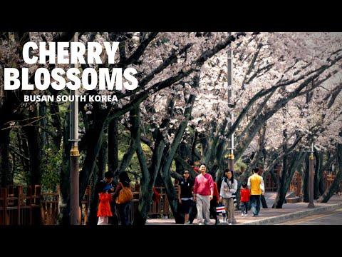 Cherry Blossoms,Dalmaji-Gil Road, Busan, South Korea