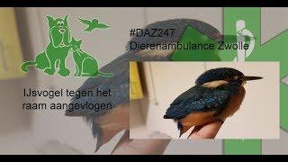 Dierenambulance Zwolle #DAZ247 IJsvogel vrijgelaten
