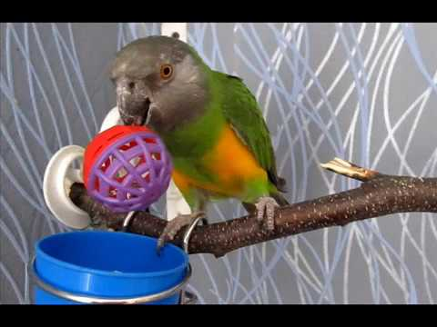 Сенегальский попугай Ромочка